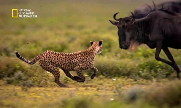 تردد قناة ناشيونال جيوغرافيك أبو ظبي نايل سات 2021 الجديد لهواة حياة الغابة والحيوان